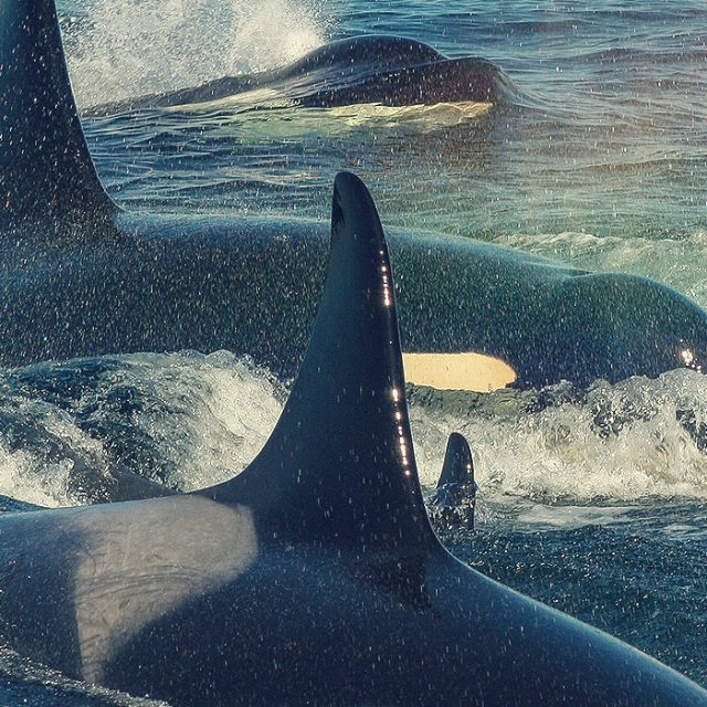 Orcas in the wild