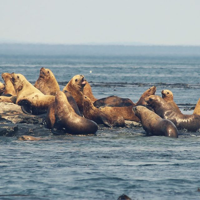 Seals/sea lions in the wild