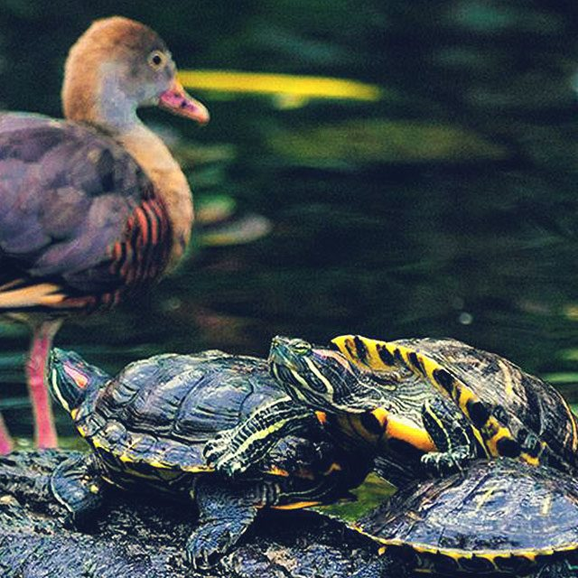Pond with turtle and birds